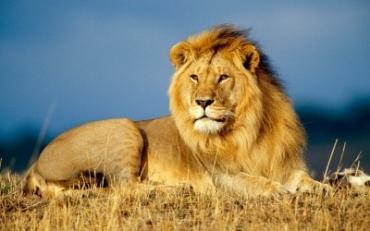 К чему снится лев? Сонник Лев