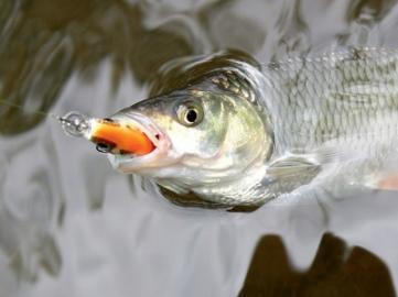 Апрельский голавль малой реки