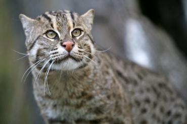 Кошка-рыболов: пловец и драчун - Статьи - ilikePet