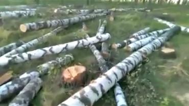 Курские власти прокомментировали вырубку берез в Косиново