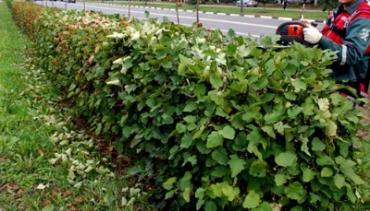 Как сделать живую изгородь на даче своими руками: фото и видео