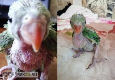 Девушка заменила попугаям мать