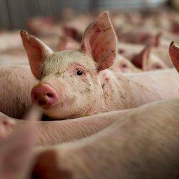 Тверские свиньи завезли африканскую чуму в Курскую область