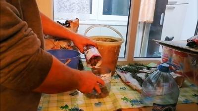 Как укоренить черенок голубой ели в саженец со 100% результатом