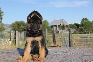 Просто печаль: чудесного щенка немецкой овчарки «забыли» в питомнике - Статьи - ilikePet
