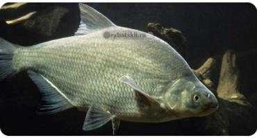 Ловля леща в глухозимье на реке и повадки рыбы