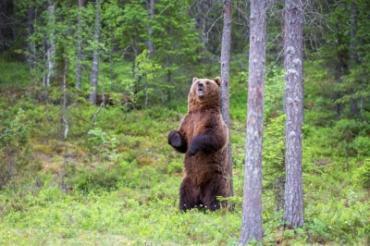 Как медведь предупреждает о своем присутствии и недовольстве