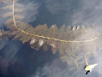 Змееголов в Средней полосе