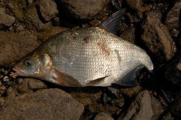 Неправильные лещевые рыбалки