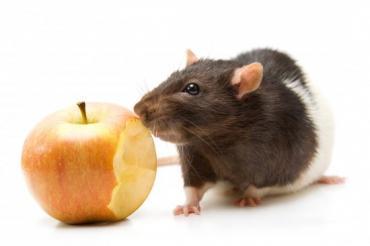 Чем разнообразить диету питомца-крысы? - Статьи - ilikePet