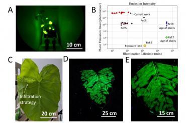 Ученые создали фосфоресцирующие растения для пассивного освещения общественных мест и улиц