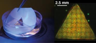 Ученые создали первые программируемые ткани из синтетических клеток
